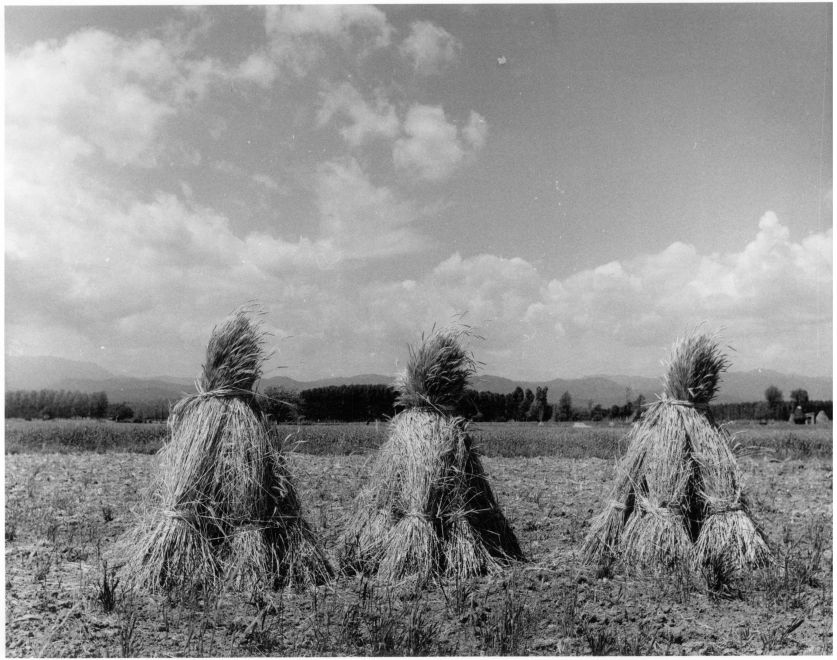 Wheat sheaves. Puigcerdá