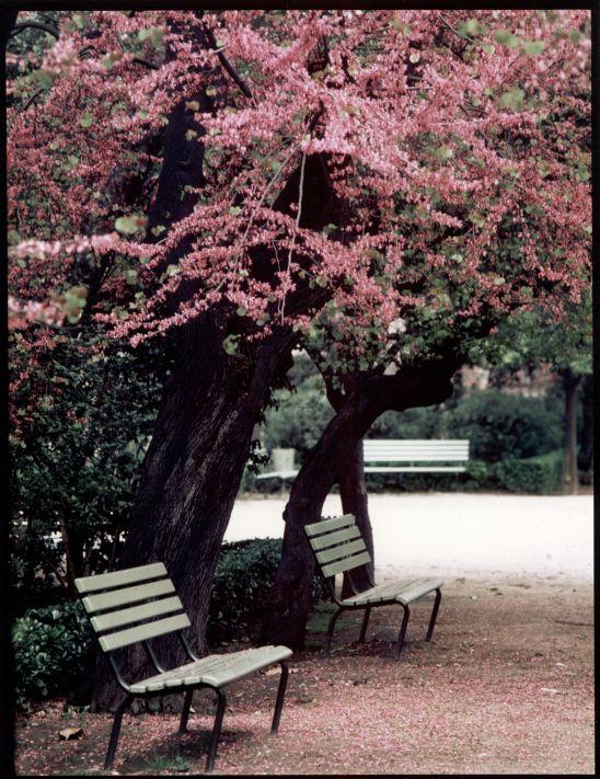 Cercis siliquastrum. Parc de la Ciutadella