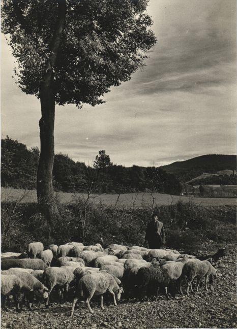 Pasturant les ovelles a Mollet del Vallés