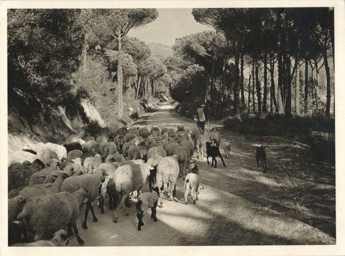 Sheep in Collcerola