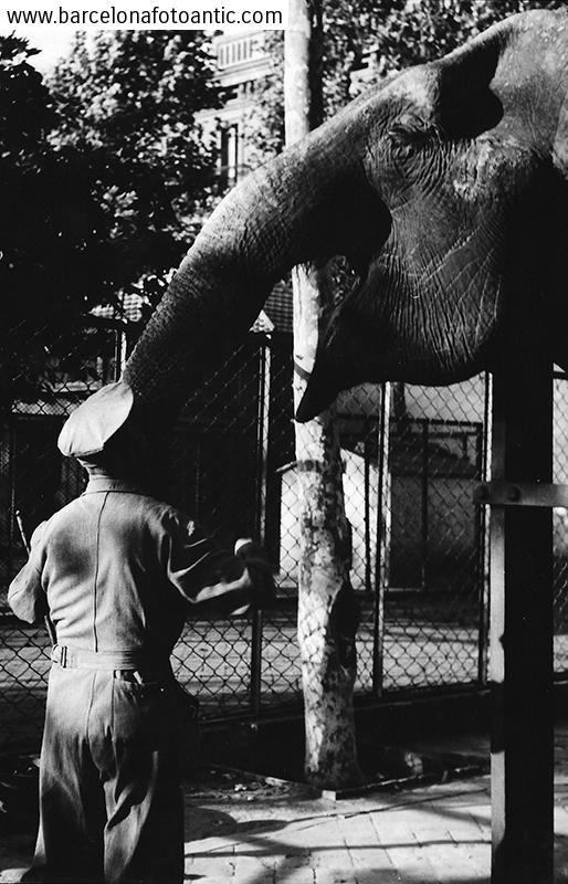 Elefanta al Zoo de Barcelona,1950.