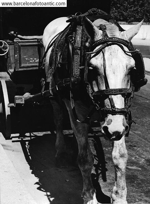 Cavall vell, Guadalajara, 1950