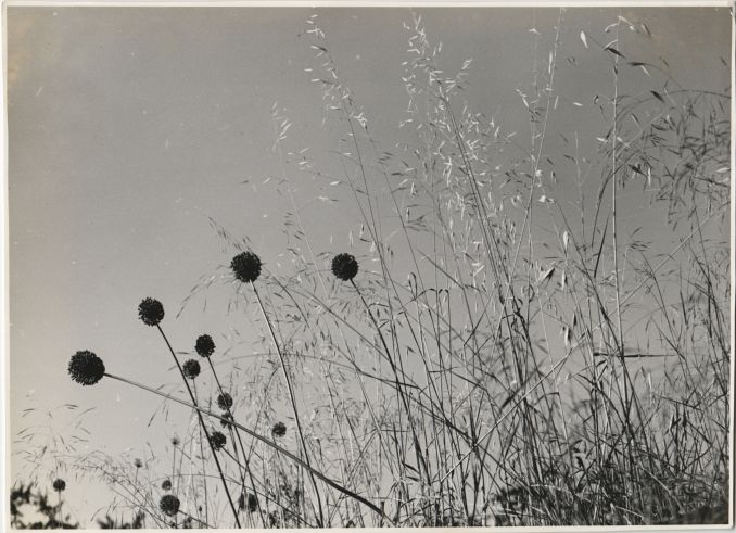 Allium and Grasses